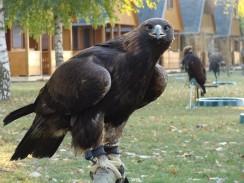Aguila_chrysaetos1